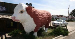 cortez_cow