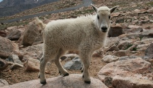 mount_evans_wildlife