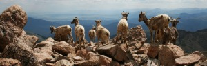 mountain_goats_mount_evans